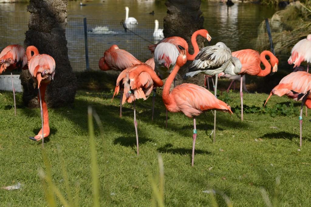 Flamingos at the Jerusalem Biblical Zoo